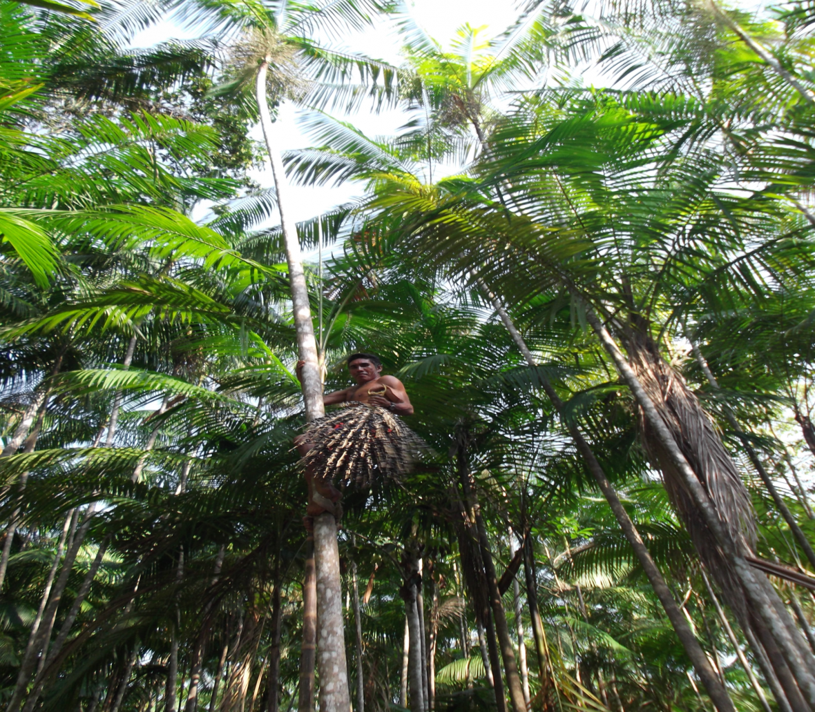 Acai trees - Brazil - Governance of Labour and Logistics for Sustainability