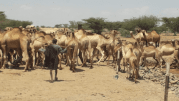 Camel Rearing in Rural Turkana, Kenya